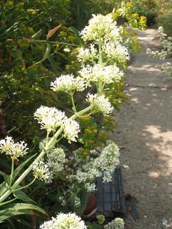 Centranthus Rubia Alba