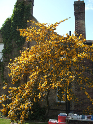 fremontodendron